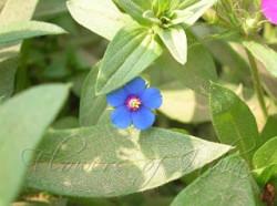 anicham-flower01