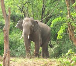 elephant-yaanai01