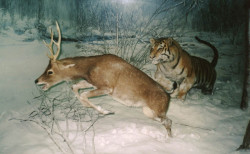 Tiger_chasing_a_deer01