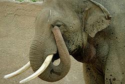 elephant_pidi01
