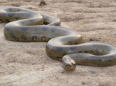 Anaconda01