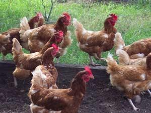 49kozhi_chicken02