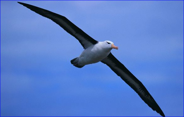 55albatross_bird