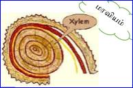 xylem-maraviyam01