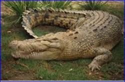 crocodile01