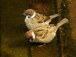 two-sparrows05