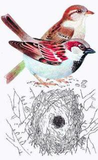 sparrows80